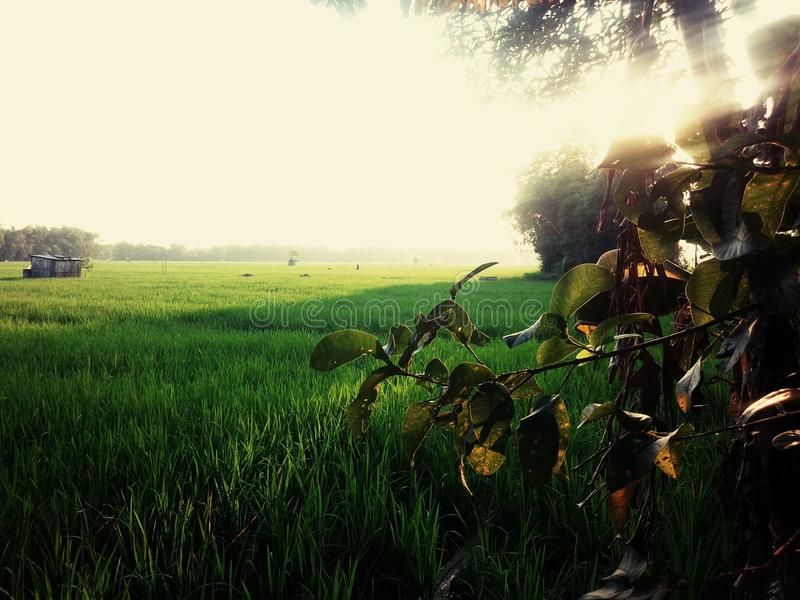 Rice field in java royalty free stock image