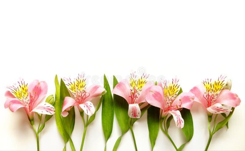 Alstroemeria λουλούδια κρίνων που απομονώνονται περουβιανά στο λευκό στοκ εικόνες