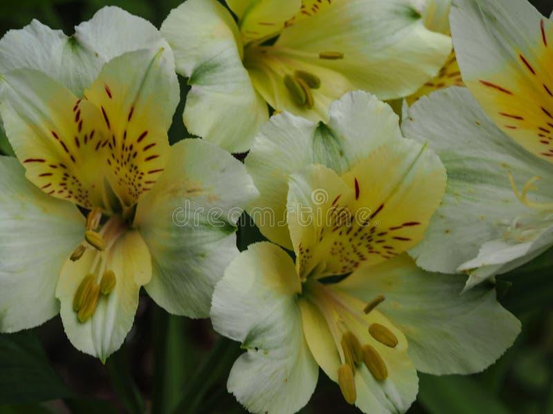Alstroemeria bianco e giallo dei gigli peruviani fotografia stock