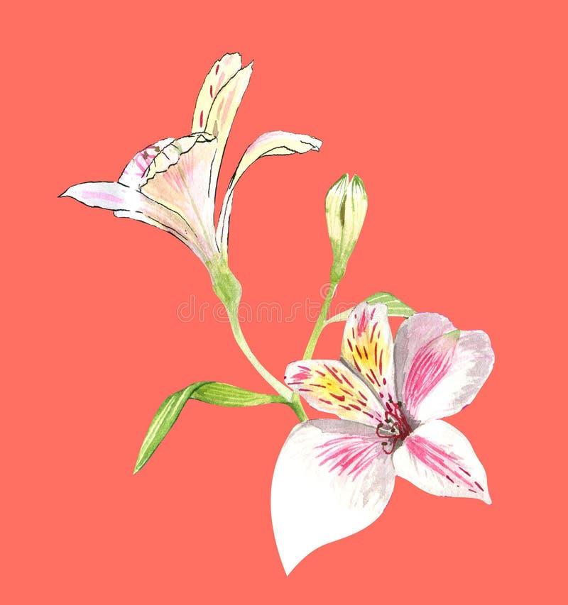 Alstroemeria bloeit met de hand op een takje, roze bloemen op een koraalachtergrond, realistische botanische tekening, waterverf royalty-vrije illustratie