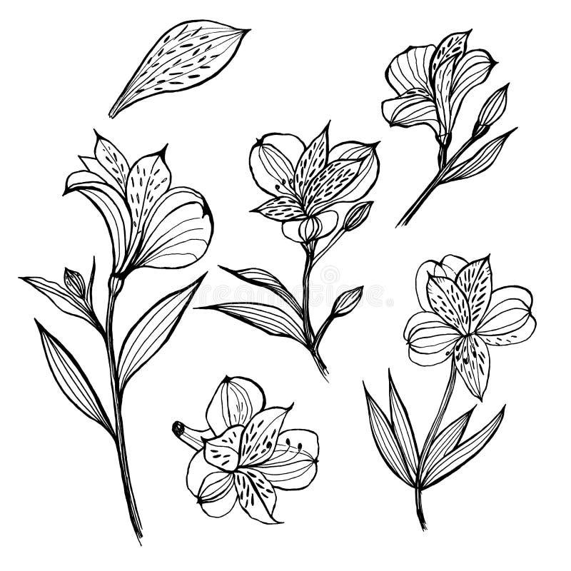 Alstroemeria blom- set f?r element Hand dragen illustration p? vit bakgrund E vektor illustrationer