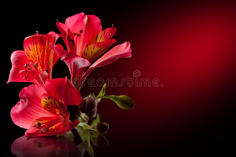 Download Alstroemeria flower stock photo. Image of bunch, floral - 19203848