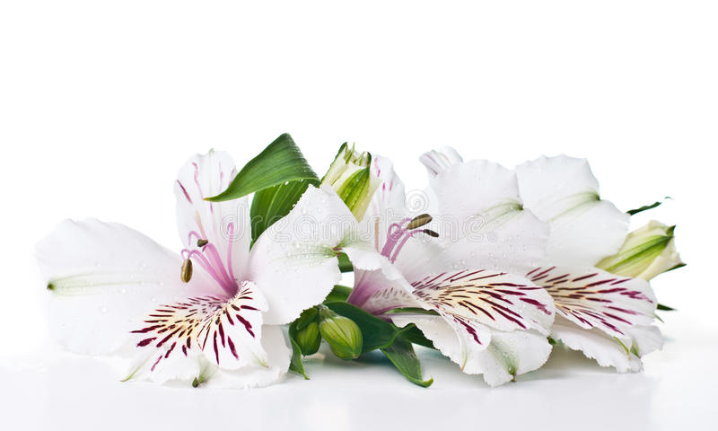 Download Alstroemeria flower stock photo. Image of herb, leaf - 27046104