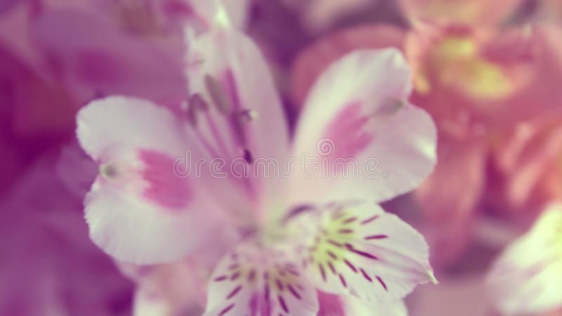 Alstroemeria Flowers Background Peruvian Lily Of Different Colors Stock Video Video Of Backdrop Floral 90329981