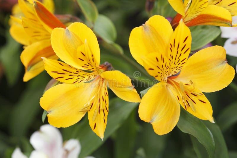 Alstroemeria jaune photographie stock