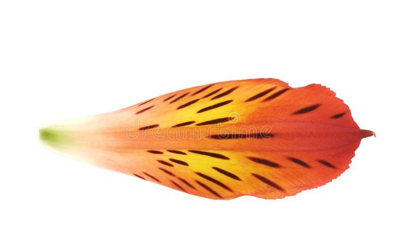Alstroemeria kwiatu ` s płatek odizolowywający zdjęcie stock