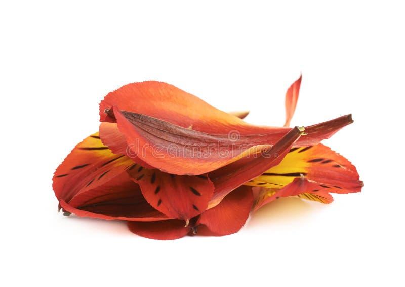 Alstroemeria kwiatu ` s płatki zdjęcia royalty free