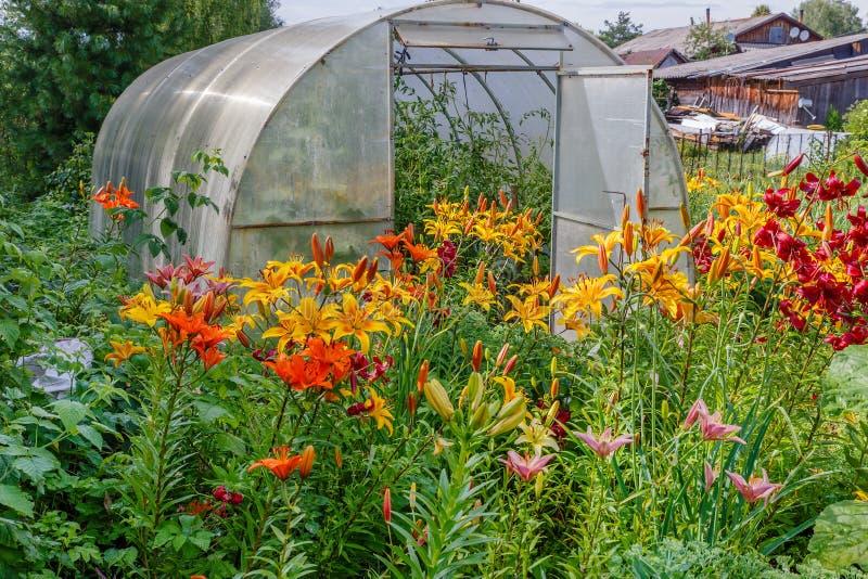 Alstroemeria Laura douce, fleurs jaunes dans le jardin images libres de droits