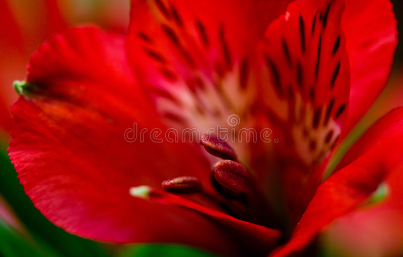 Alstroemeria red flowers with green leafs. In bouqet royalty free stock photography