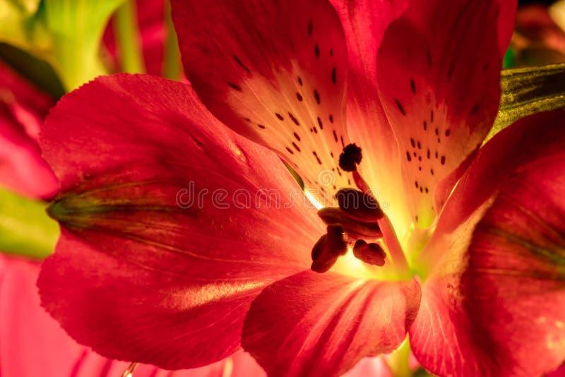 Alstroemeria- und Gerbera-Blumen mit Wassertropfen auf schwarzem Grund lizenzfreies stockbild