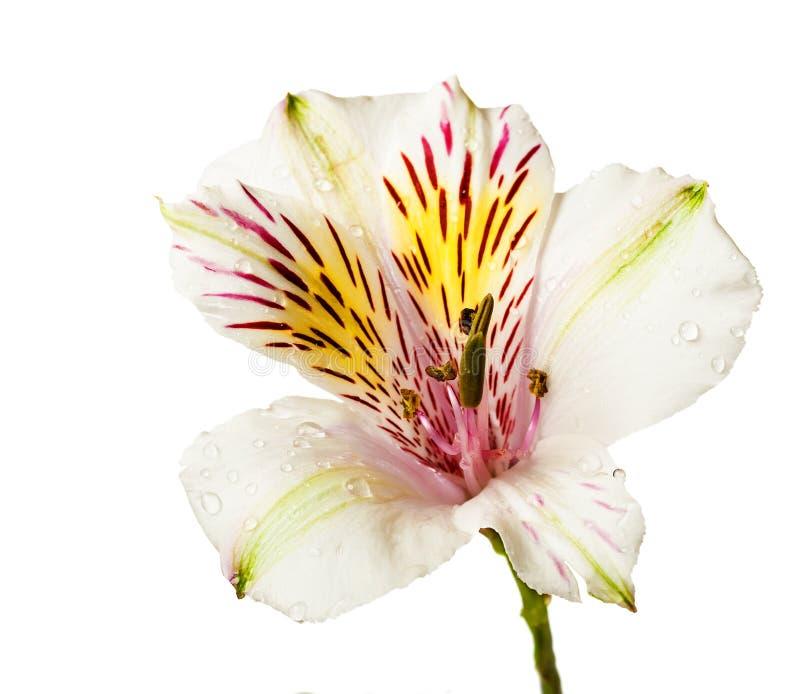 Alstroemeriabloemen royalty-vrije stock afbeelding