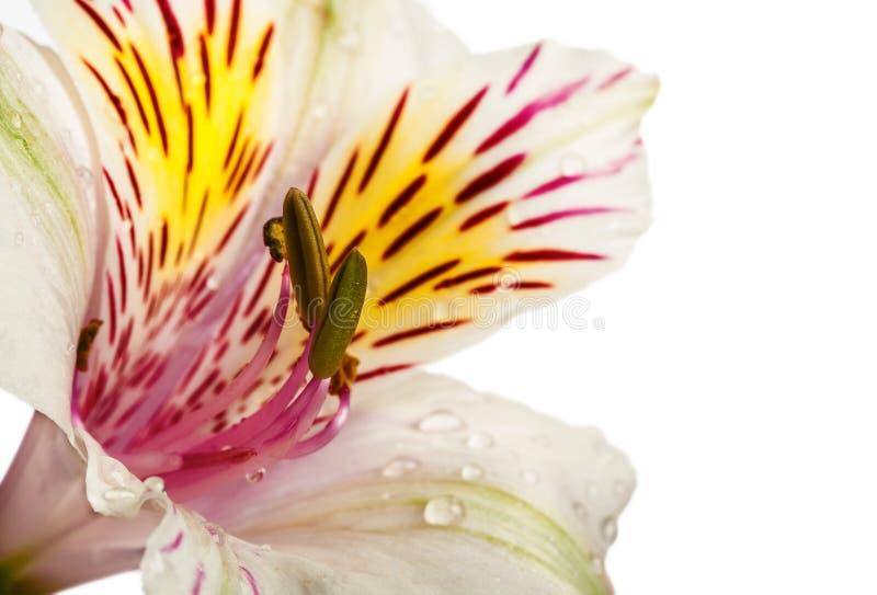 Alstroemeriabloemen royalty-vrije stock afbeeldingen