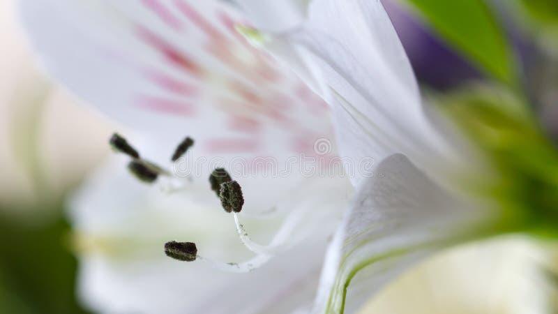 Download Alstroemeriablommamakro arkivfoto. Bild av blomma, stamens - 37345000