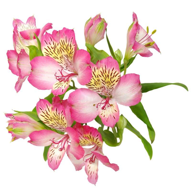 Alstroemeriablumen auf weißem Hintergrund lizenzfreie stockfotografie