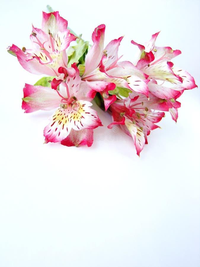 alstroemeriabuketten blommar rosa white royaltyfri bild