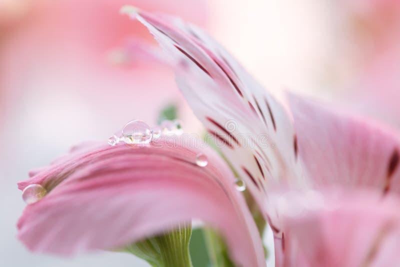 Alstroemerianärbild med droppar av dagg Försiktigt rosa färgblomma med droppar Selektivt fokusera arkivfoto