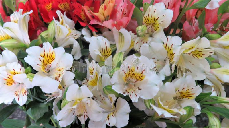 Alstromeria美丽的花  免版税图库摄影