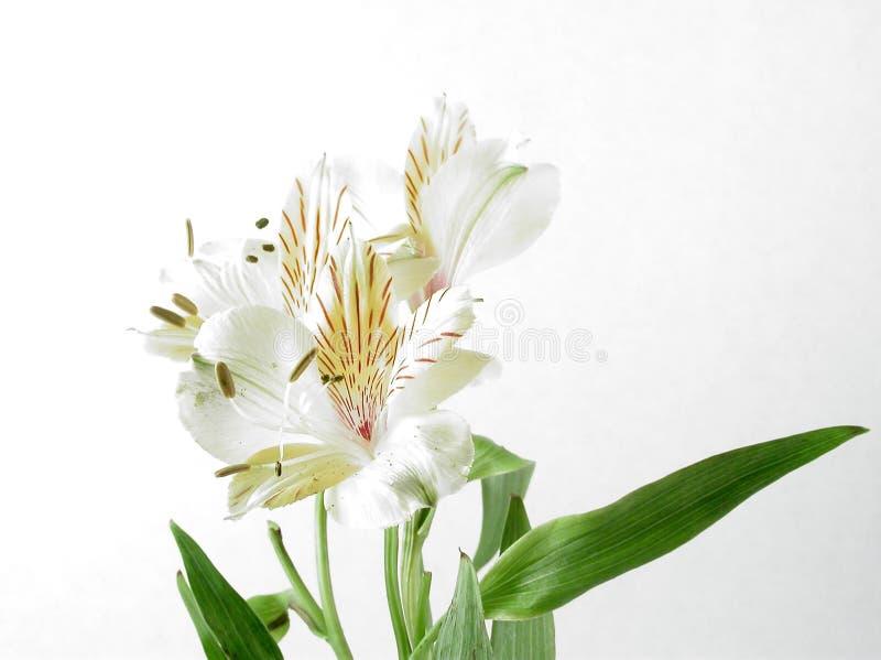 Download Alstromeria arkivfoto. Bild av liljar, vitt, pistil, peruan - 68206