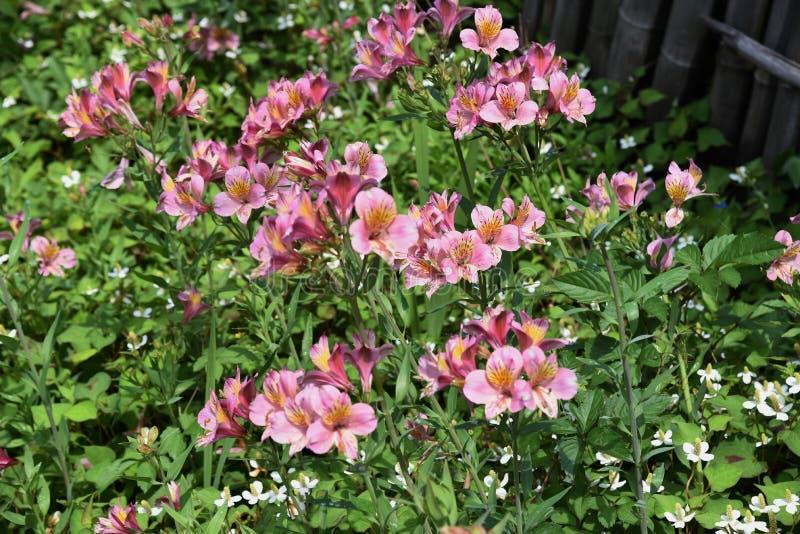 Alstromeria kwiaty obraz stock