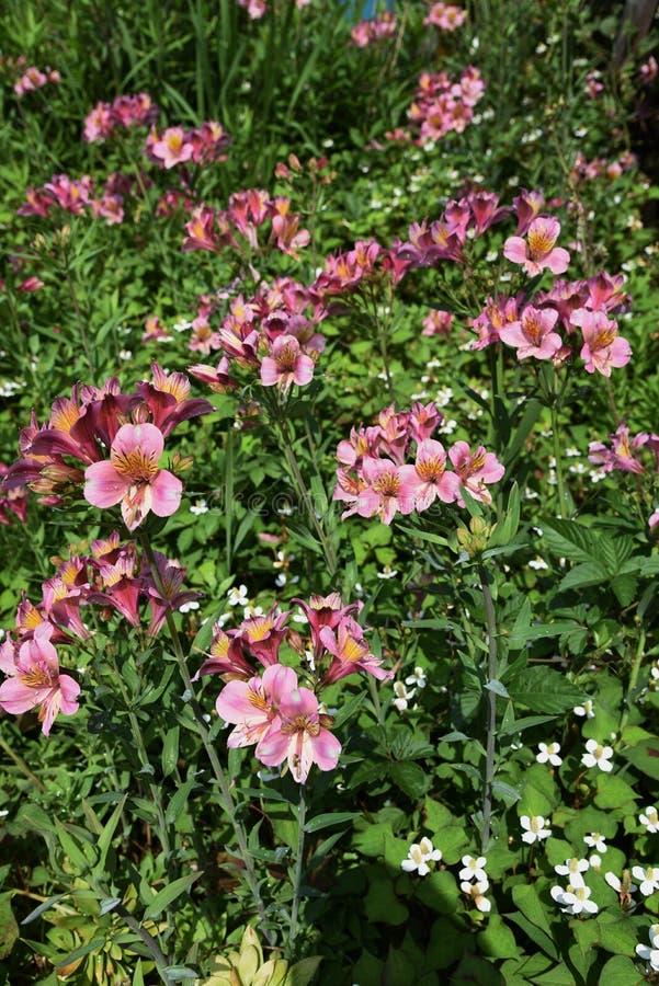 Alstromeria kwiaty obraz royalty free