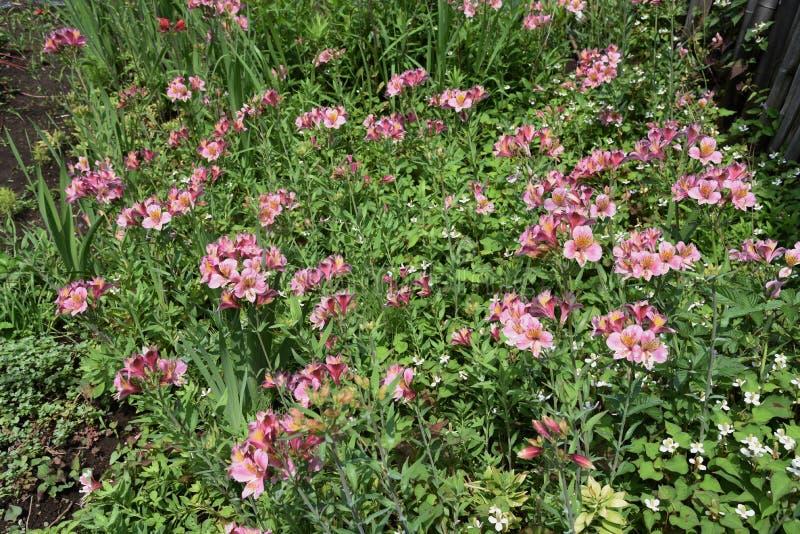 Alstromeria kwiaty zdjęcie stock