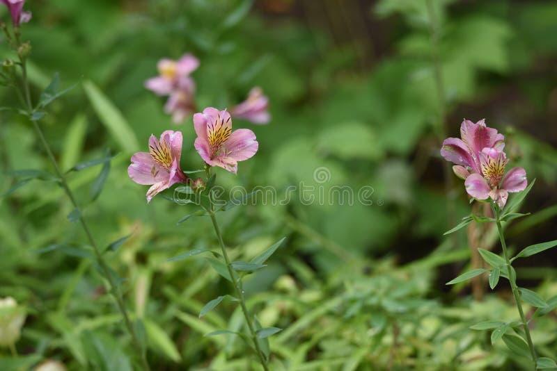 Alstromeria kwiaty fotografia royalty free