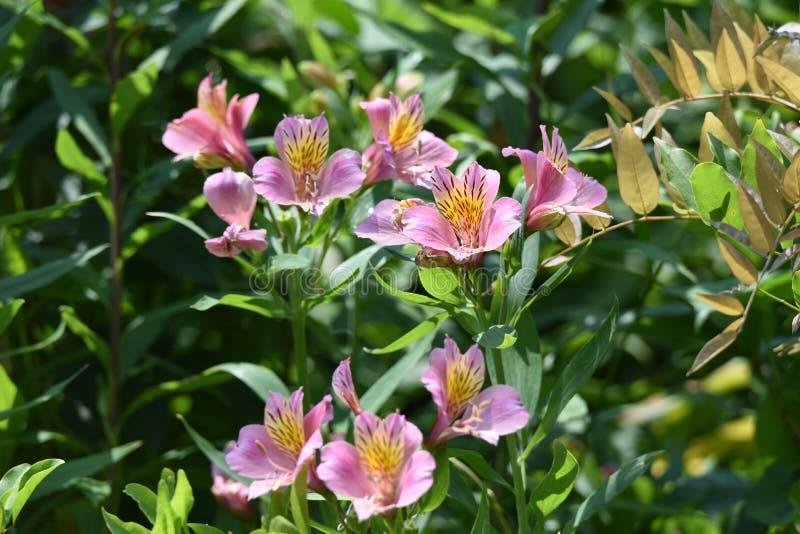 Alstromeria kwiaty obrazy stock