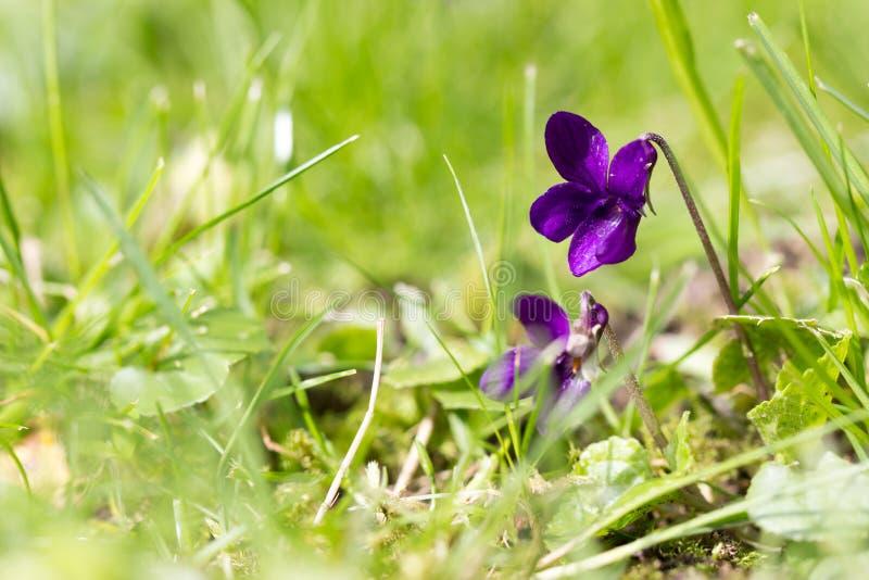 Altówka kwiat między trawą obrazy royalty free