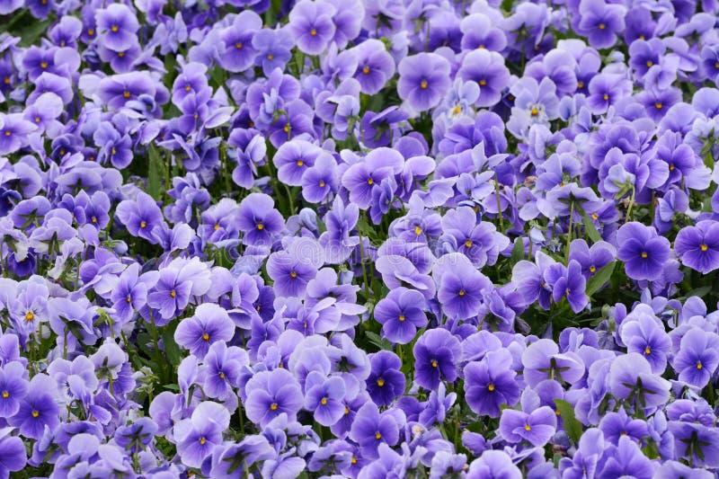 Altówka kwiaty zdjęcie royalty free