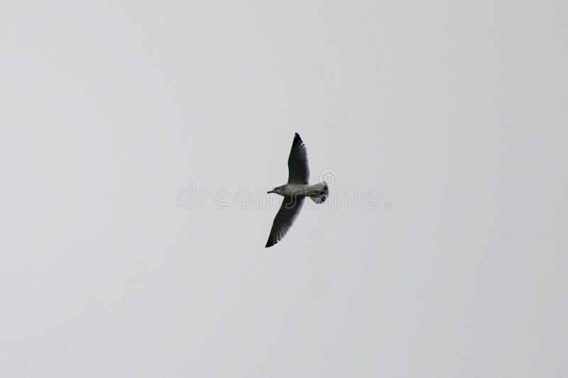 Alta gaviota que vuela #1 fotografía de archivo