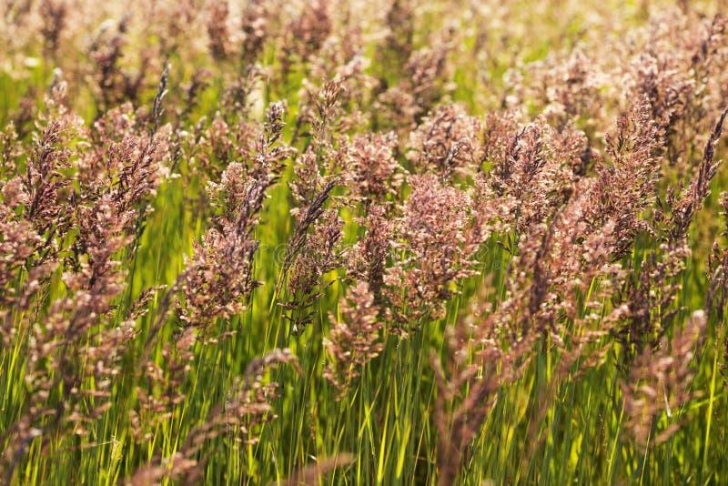 Download Alta hierba en el campo imagen de archivo. Imagen de fondo - 42433877