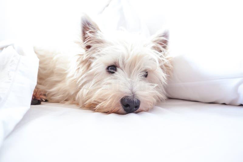 Alta imagen dominante del perro del westie del terrier blanco de montaña del oeste en cama foto de archivo