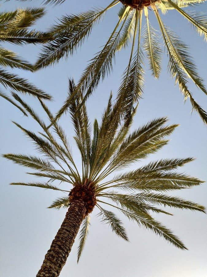 Alta palmera imagen de archivo libre de regalías