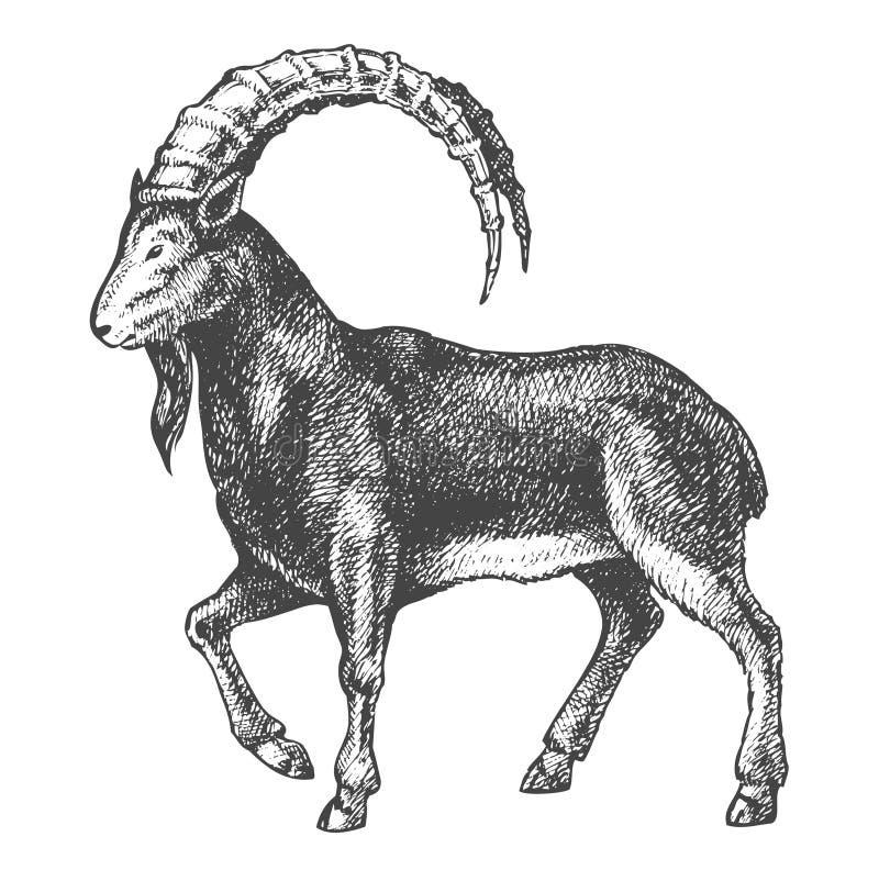 Alta qualidade do desenho da cabra ilustração royalty free