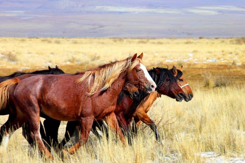 Altai Pferd lizenzfreies stockfoto