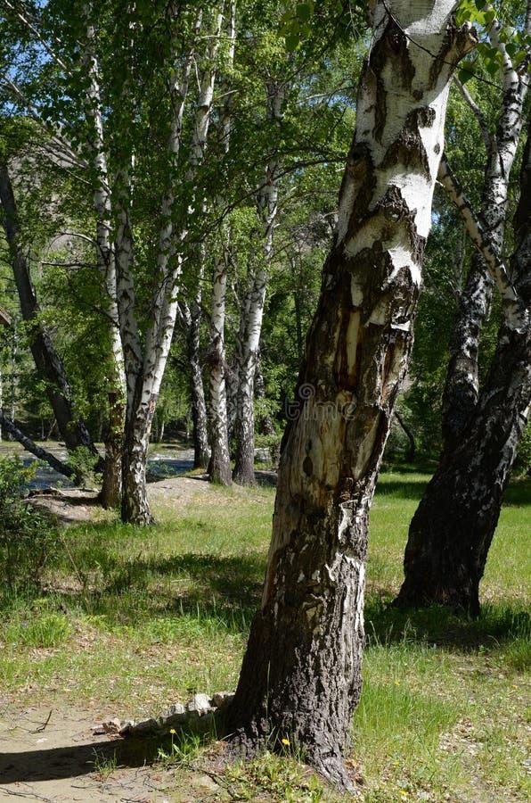 Birches on the bank of the river Big Yaloman. Mountain Altai. ALTAI REPUBLIC, RUSSIA JUNE 6, 2018: Birches on the bank of the river Big Yaloman. Mountain Altai stock image