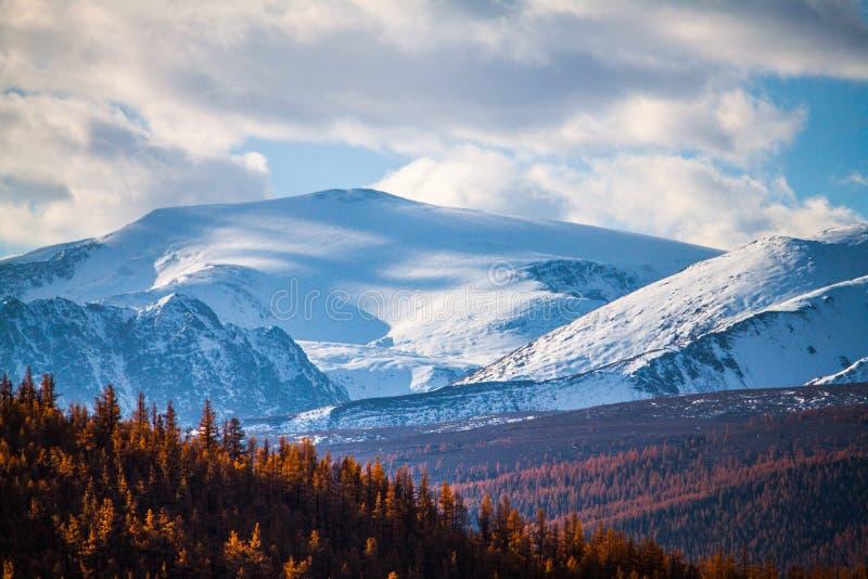 Altai-Republik Der Herbstlärchenwald und die Schönheit von schneeweißen Spitzen lizenzfreies stockfoto