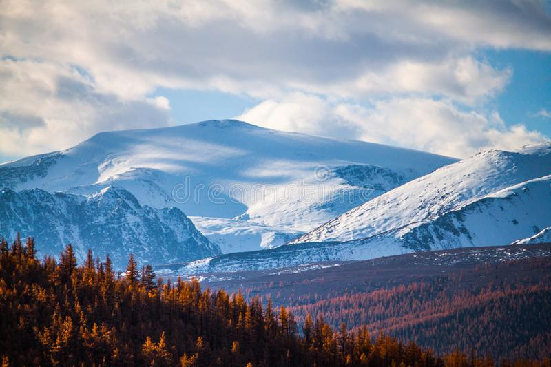 Altai republika Jesień modrzewiowy las i piękno śnieżnobiali szczyty zdjęcie royalty free