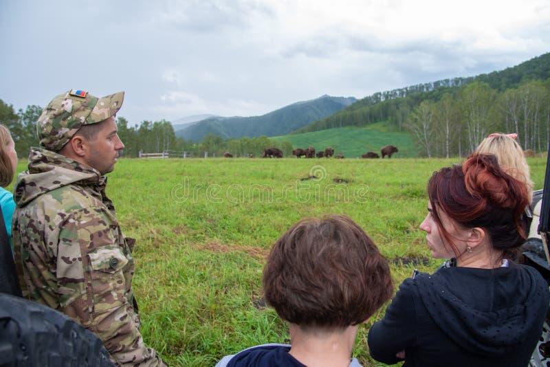 Altai, Rosja/- 31 07 2017: Ludzie ogląda pastwiskowego stada żubr obrazy stock