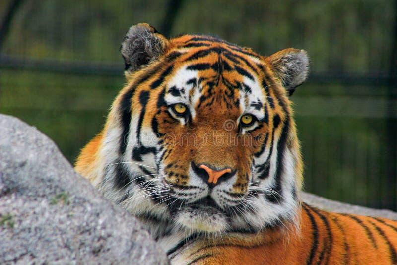Altaica del Tigri della panthera della tigre siberiana, anche conosciuto come la tigre dell'Amur immagini stock libere da diritti