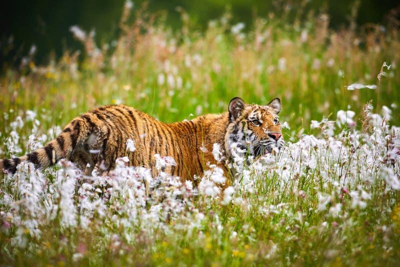 Altaica del Tigri della panthera della tigre siberiana della tigre della panthera il Tigri il Tigri, o dell'Amur nel pascolo immagine stock libera da diritti