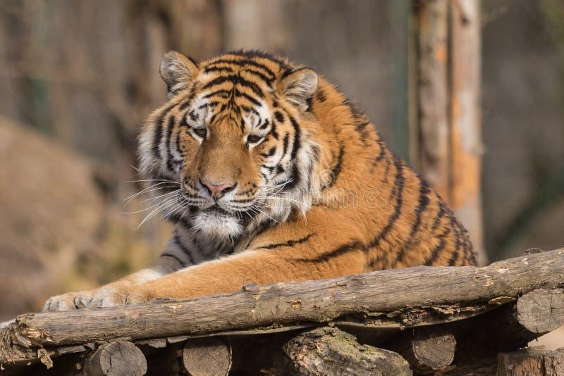 Altaica du Tigre de Panthera de tigre sibérien images stock
