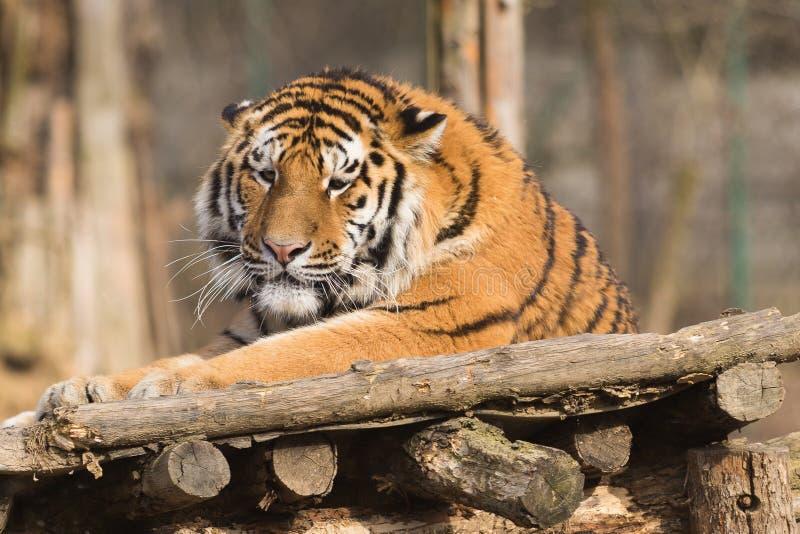 Altaica du Tigre de Panthera de tigre sibérien photographie stock