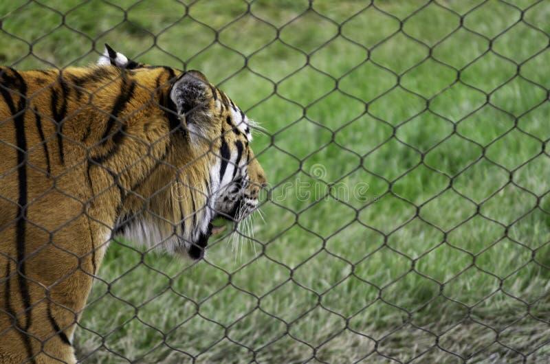 Altaica Gefangener Amur Tiger Panthera der Tigris lizenzfreie stockbilder