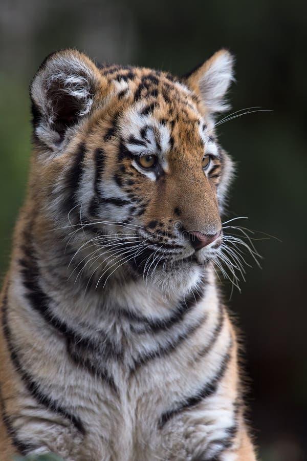 altaica lisiątka panthera lisiątko tygrysi Tigris fotografia royalty free