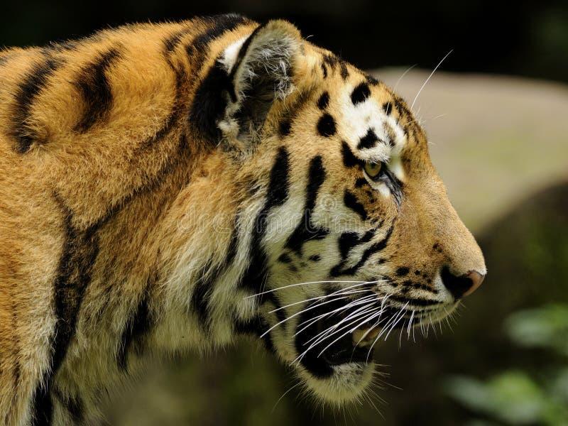 altaica panthera altaica tygrysi Tigris obraz stock