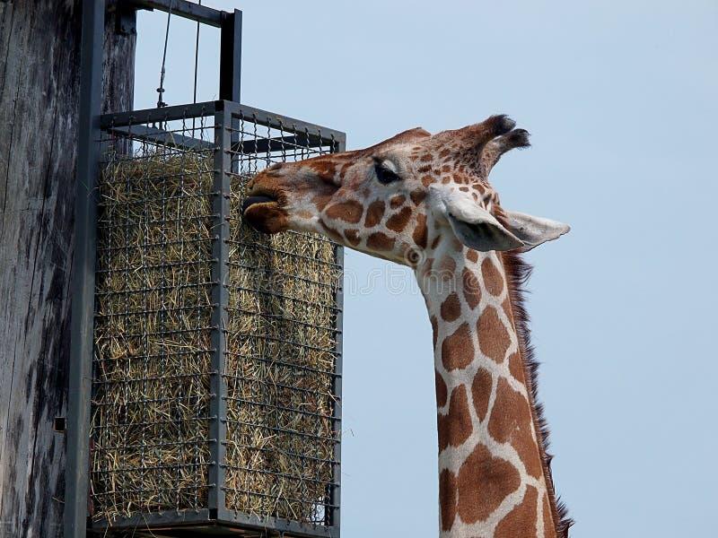 Altas jirafas del pasto fotos de archivo
