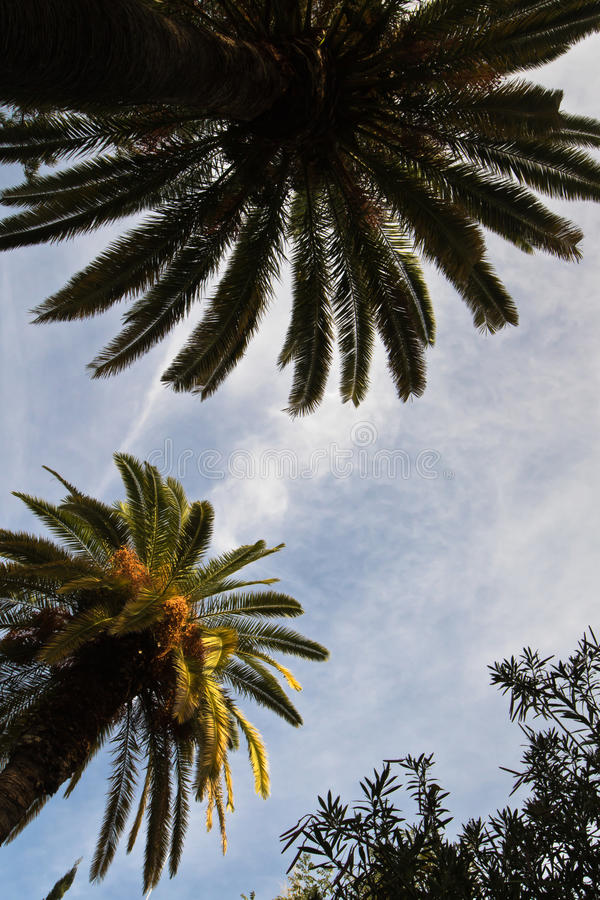 Altas palmeras en luz del sol imagen de archivo libre de regalías