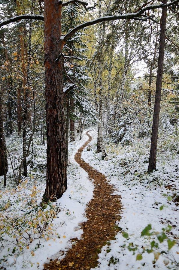Altay δάσος στοκ εικόνα με δικαίωμα ελεύθερης χρήσης