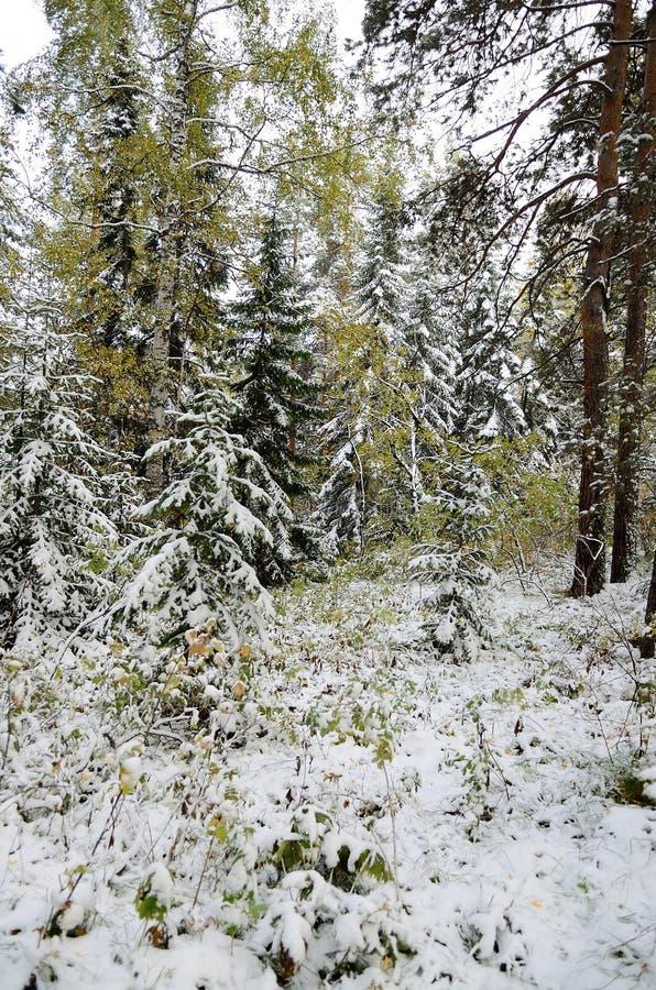 Altay skog arkivfoto